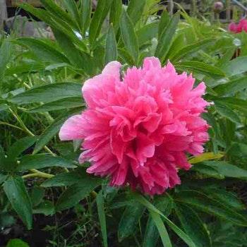 P. hybr. China rose