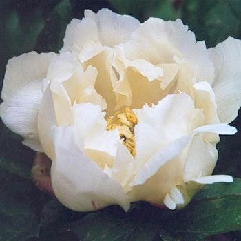 P. Itoh-hybrid. White Emperor