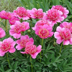 P. anemoneflora