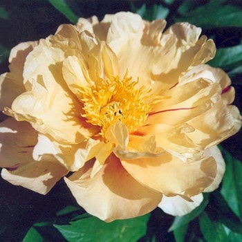 P. Itoh-hybrid. Lemon Dream