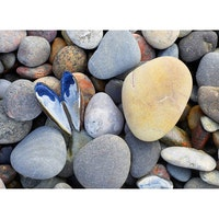 5051 – Hjärtformad mussla på stenstrand