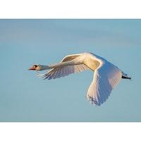 5071 – Knölsvan som flyger