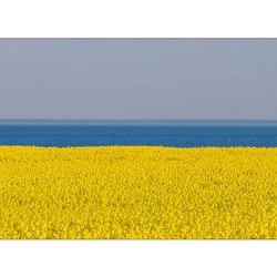 Sveriges färger – Skånskt rapsfält vid havet
