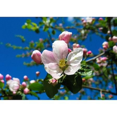 7068 – Äppelblom