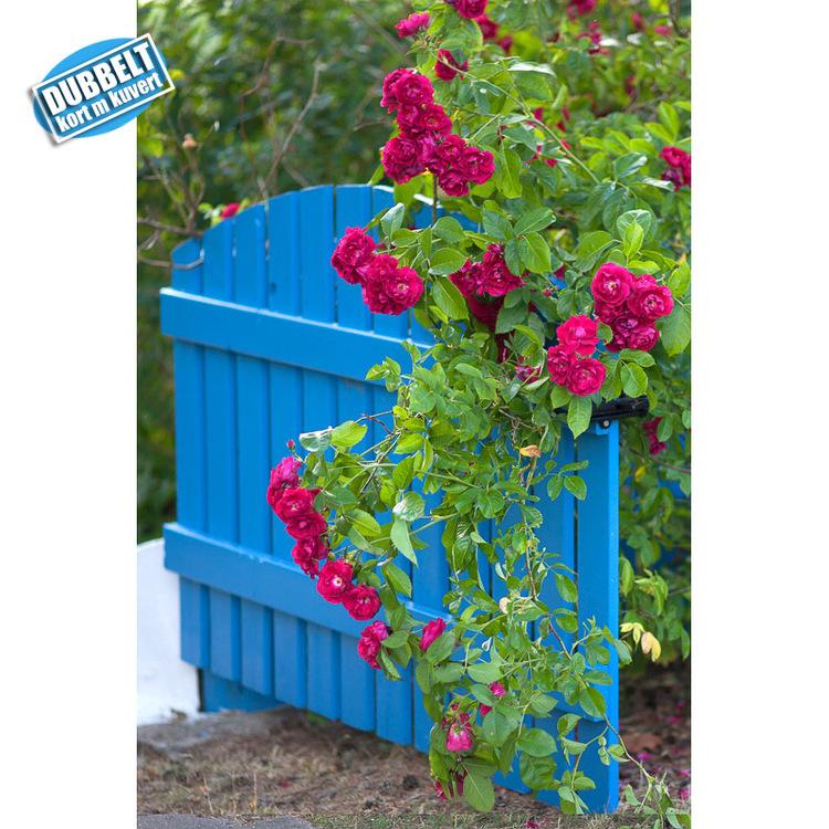 Dubbelt Vykort med kuvert  -Rosor på blå grind. Foto: Per Johansson - Joanzon. Kortbutiken säljer detta vykort.