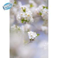 Blommande fruktträd