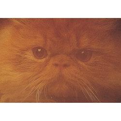Katt ansikte