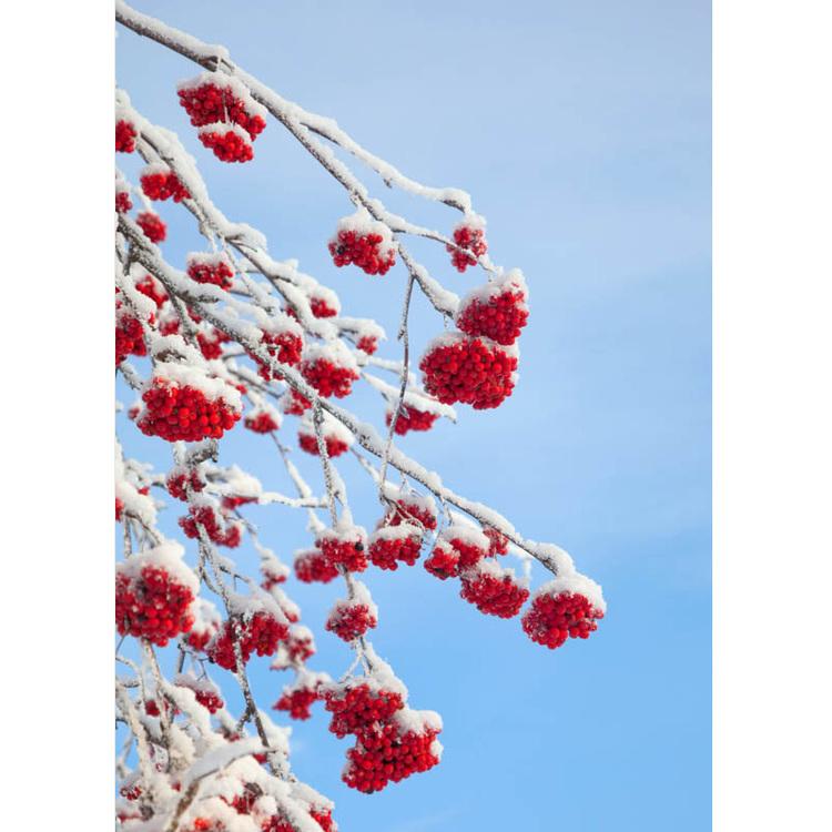 Julkort – Rönnbär i vinterskrud