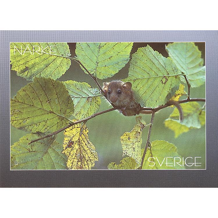 Vykort. Närke Hasselmus. Foto: Conny Hedengren. Kortbutiken säljer detta vykort.
