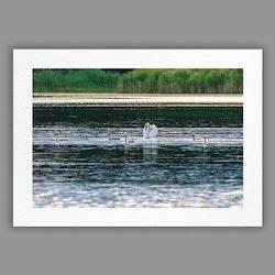 Joanzon Art - Svanar – Samling - A4 tavla