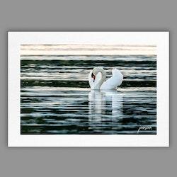 Joanzon Art - Svan – Spegling - A4 tavla
