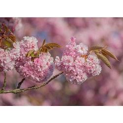 Körsbärsblom i mängder