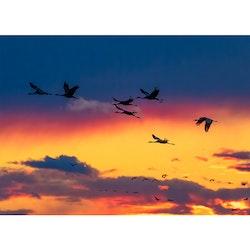 Tranor i solnedgång