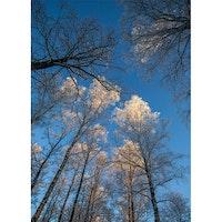Träd mot blå himmel – Vinter