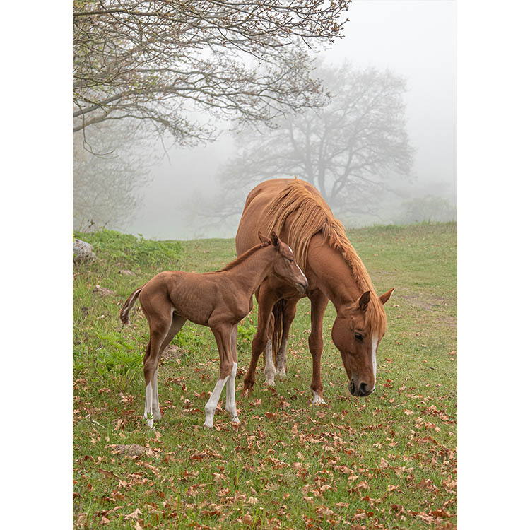 Häst med föl - Haväng