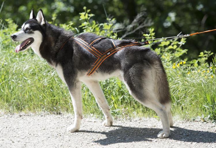 HUNDESELE CANICROSS X-BACK ONE XS ORANSJE I-DOG