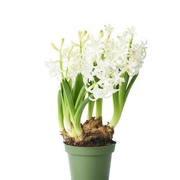 Vit multiflora hyacint