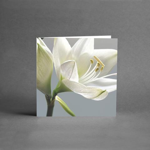 Vit blomma /Lilja