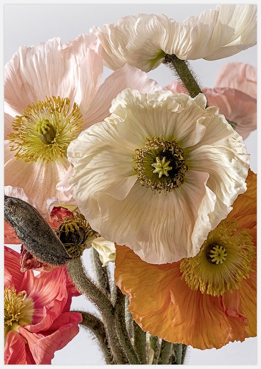 Light-coloured Poppies 3