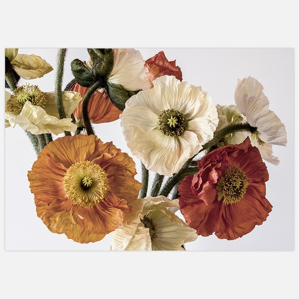 Light-coloured Poppies