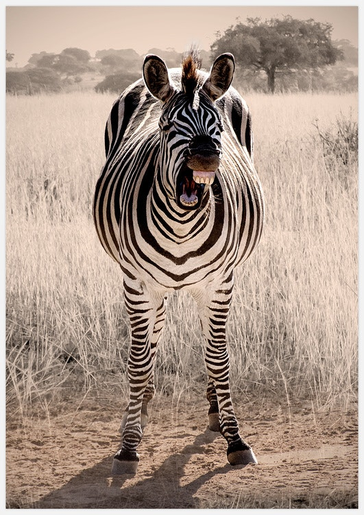 Zebra Laugh