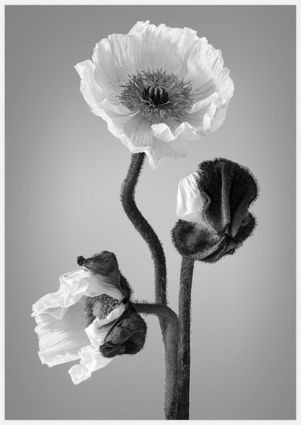 Poppy black & white