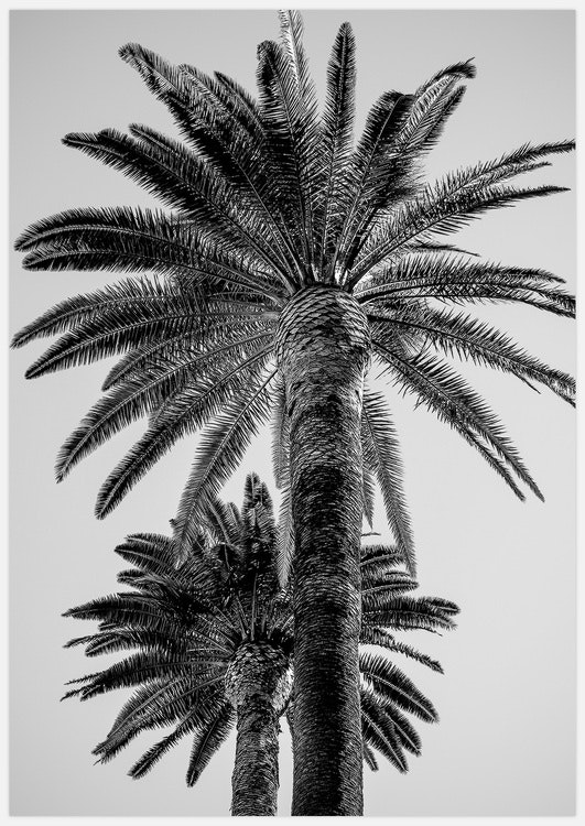 Palm Trees black & white