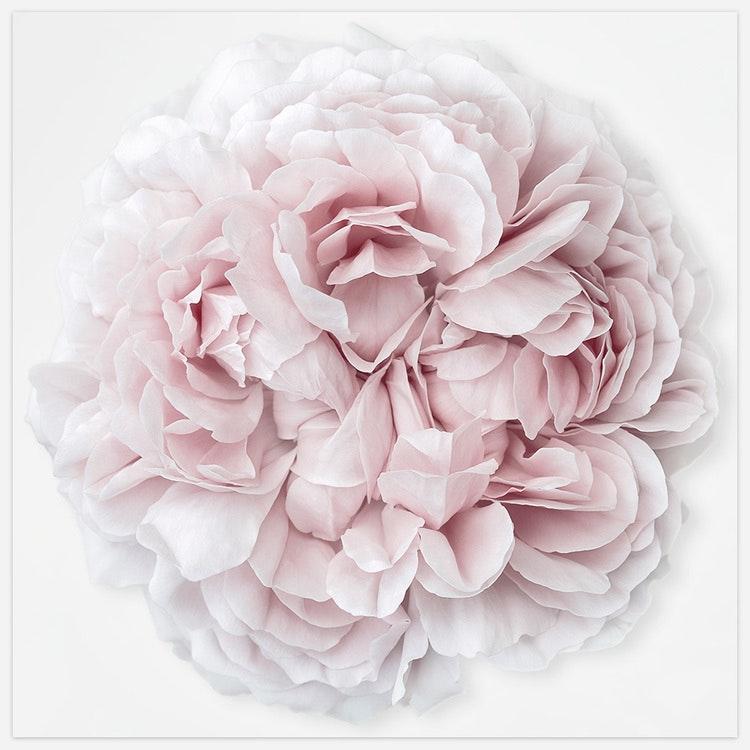 Rose Duchesse de Montebello' 4