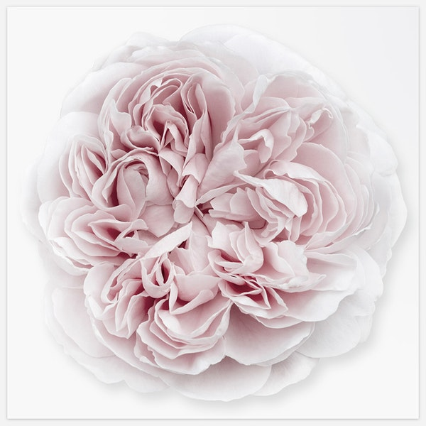 Rose Duchesse de Montebello' 5