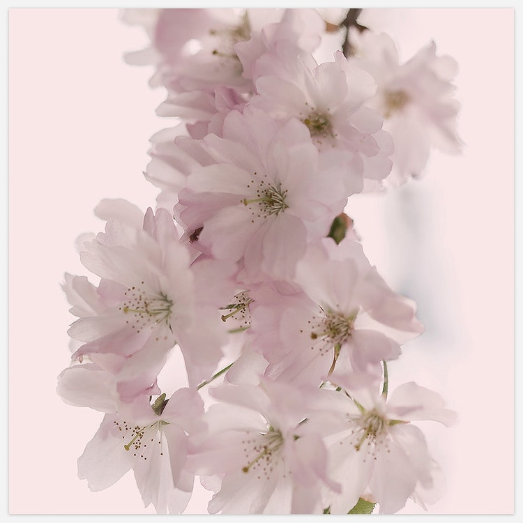Cherry Blossom in Pink