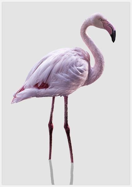 Flamingo on grey