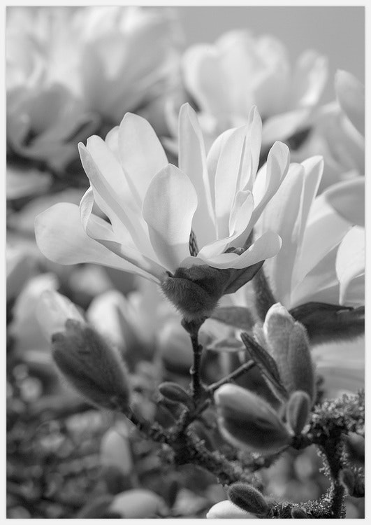 Magnolia black & white 3