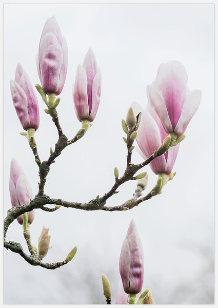 Pink Magnolia buds
