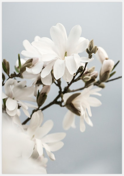 White Magnolia 2