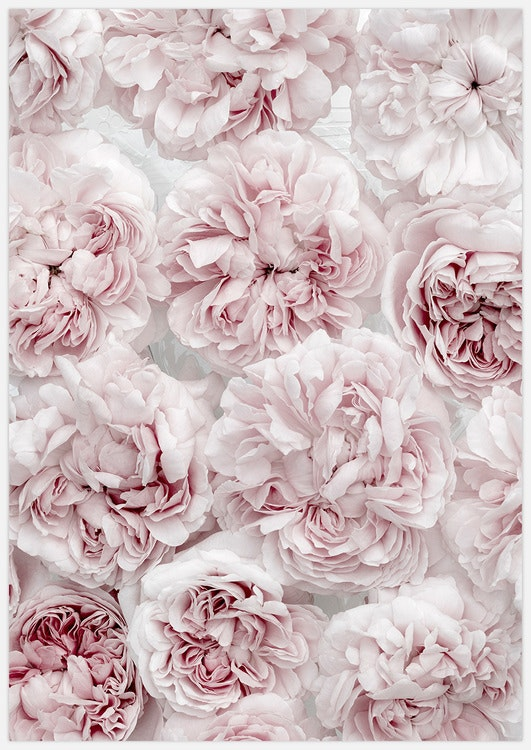 Soft Pink Roses 3
