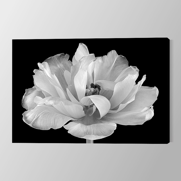 Tulip in its glory Canvas