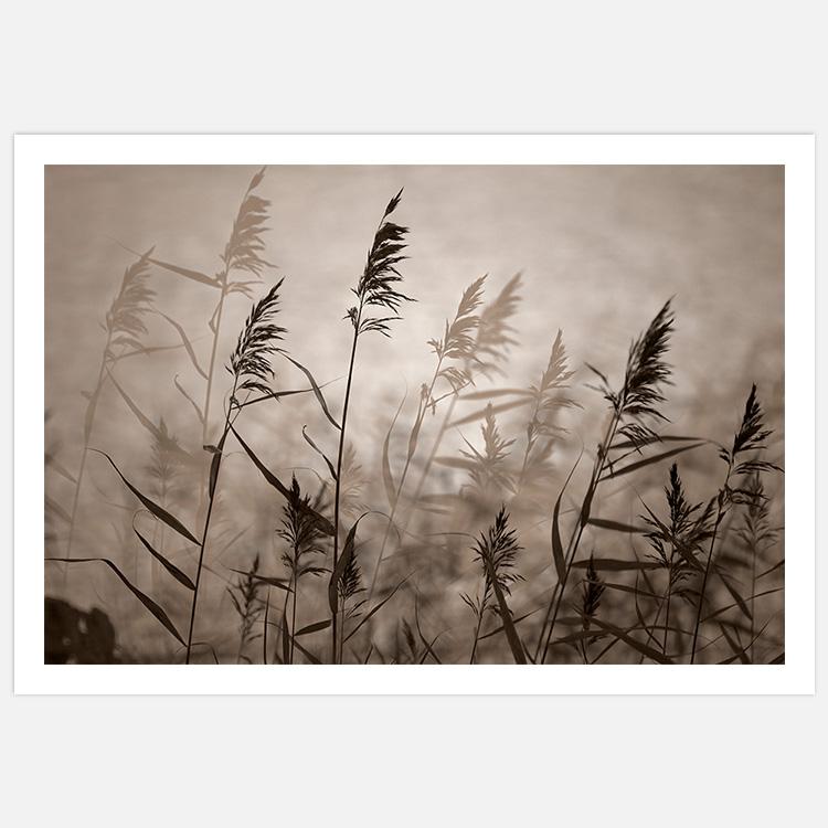 Reeds in evening light