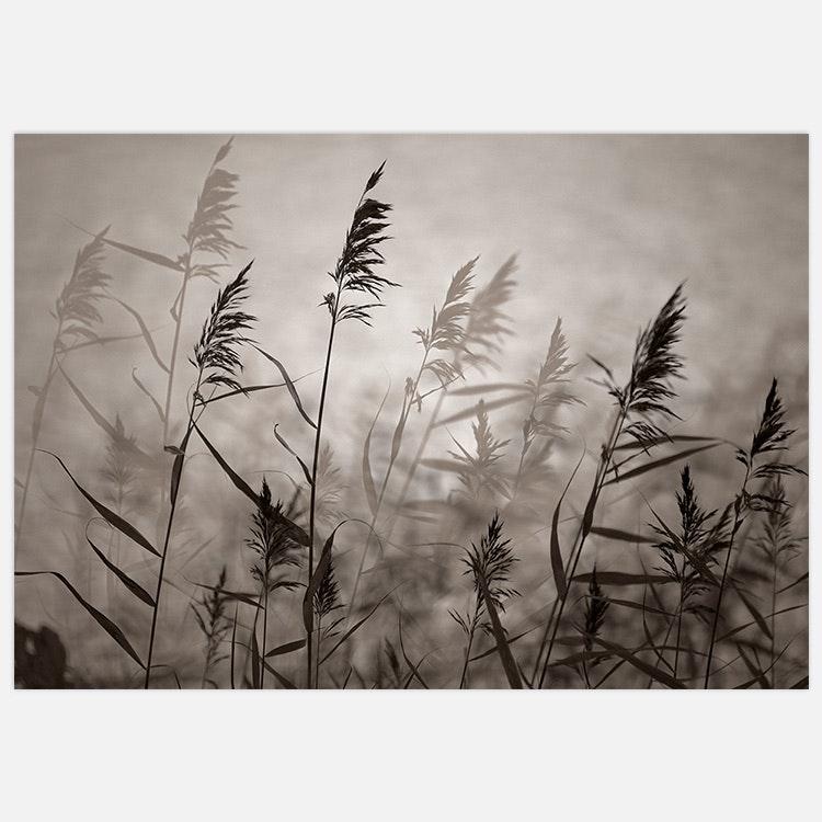 Reeds in evening light warm B&W