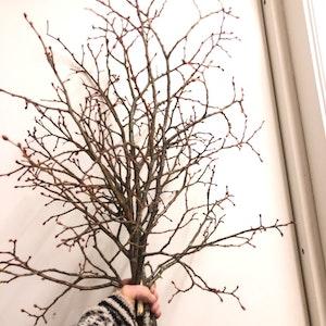 Dekorativa grenar av Lind (allergivänligt)