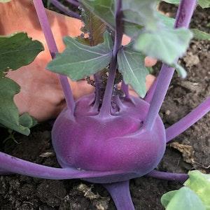 Kålrabbi purpur