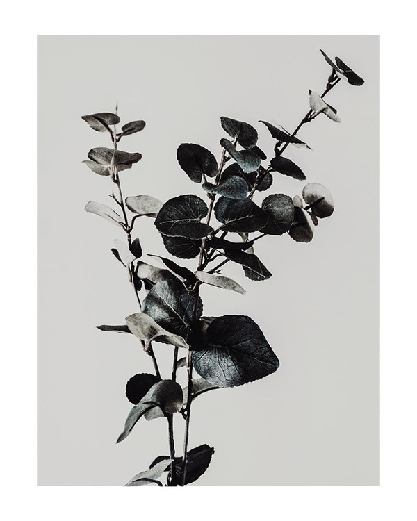 Poster/Konsttryck - Eucalyptus