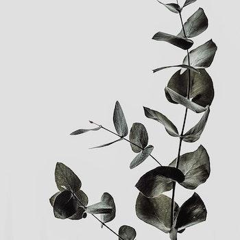 Poster/Konsttryck - Lyxig eucalyptus