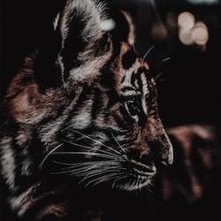 Poster/Konsttryck - Tigerunge