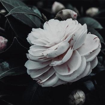 Poster/Konsttryck - Vit blomma