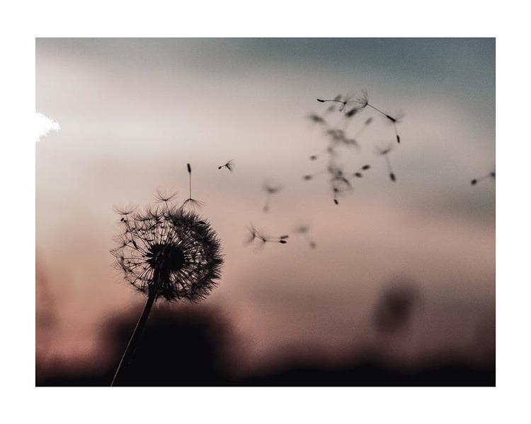 Poster/Konsttryck - Maskros i vinden