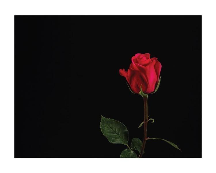 Poster/Konsttryck - Klassisk Röd Ros