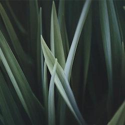 Poster/Konsttryck Grässtrå