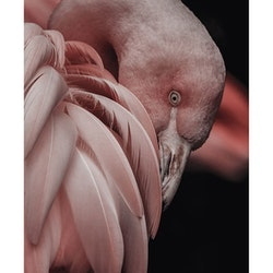 Poster/Konsttryck - Flamingo