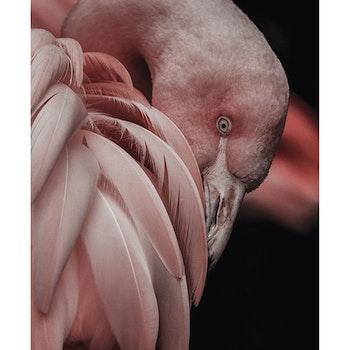 Poster/Konsttryck - Flamingo