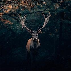 Poster/Konsttryck -  Hjort